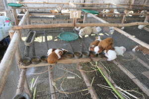 Meerschweinchenzucht Peru